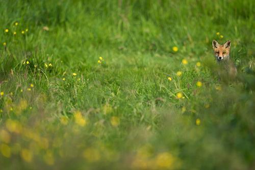 Jonge vos zittend in gras met boterbloemen met oogcontact