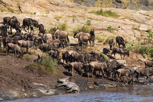 Uitgeputte zebra op oever Mararivier tijdens migratie