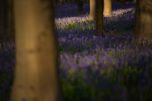 Bluebell covered woods in Halle with morning sun