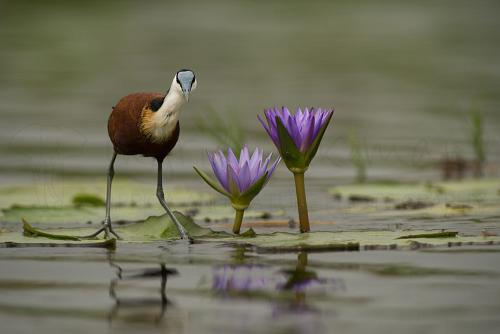 African jacana in Mabamba Swamp during Uganda - Gorillas, chimpanzees and more photo safari