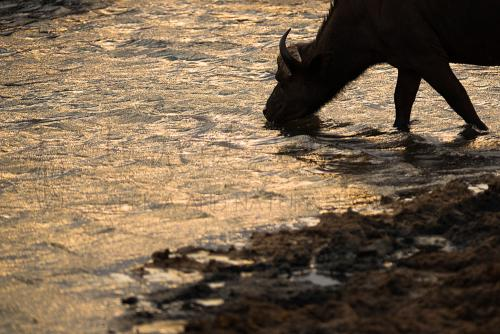 Drinkende buffel bij zonsondergang in Tsavo tijdens fotosafari 'Over Maneaters en Rode Olifanten'