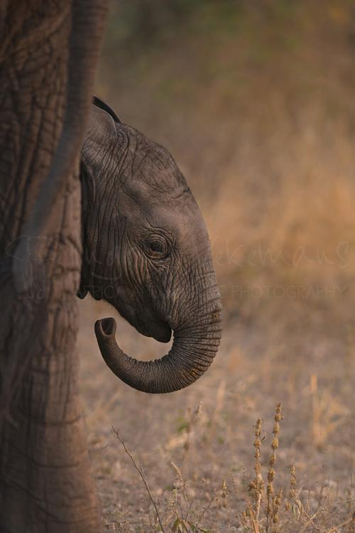 Baby-olifant in close-up achter moeders poot in Tarangire.