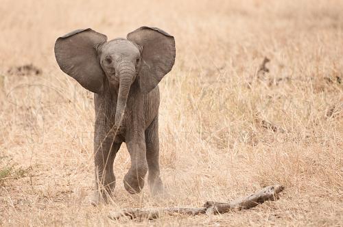 Baby-olifant oefent aanvallen in Tarangire.
