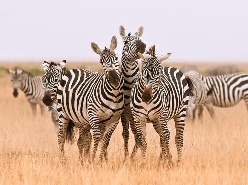 Zebras competing for attention in Amboseli