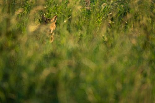 Moedervos likt pup in lang gras met oogcontact
