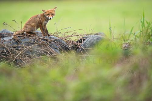 Young fox with eye contact by www.ingridvekemans.com