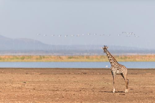 Masai giraffe and pelicans in flight at Lake Manyara during Tanzania Wilderness Safari