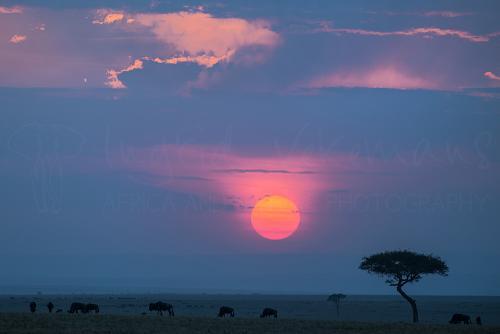 Zonsondergang in Masai Mara met gnoes en acacia