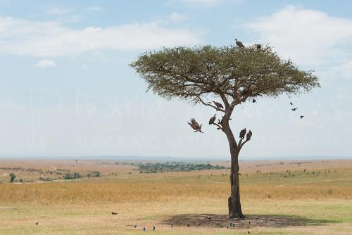 Landschap van de Masai Mara met boom en vogels tijdens 'Migratie en Meren van de Grote Rift' fotosafari