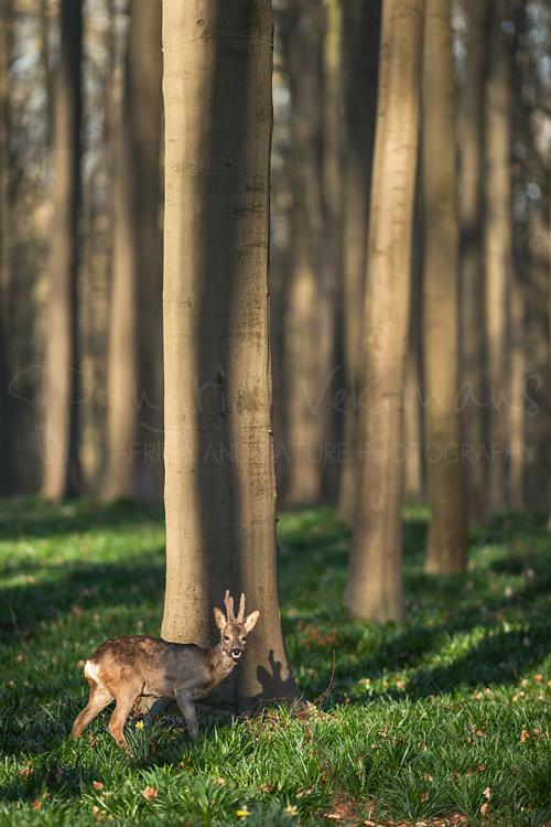 Roe deer buck in Hallerbos forest