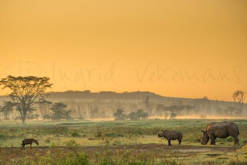 Hyena en neushoorns in Lake Nakuru National Park tijdens Migratie en Meren van de Grote Rift fotosafari