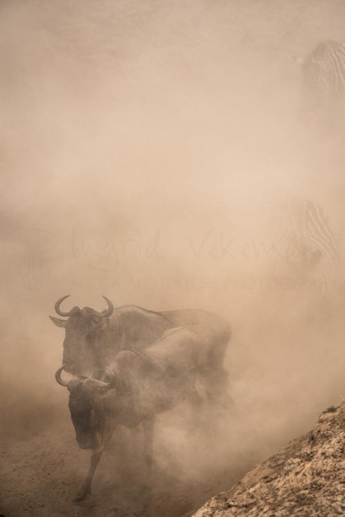 Gnoes naderen Mararivier in stofwolk tijdens Migratie en Meren van de Grote Rift fotosafari