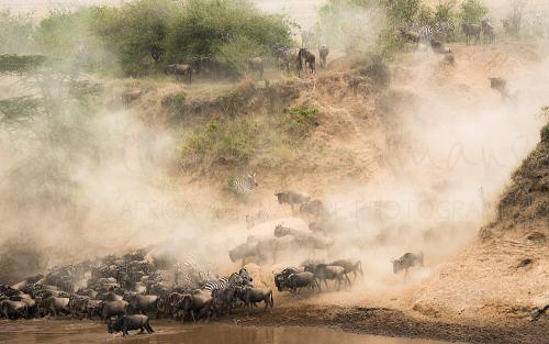 Herd of wildebeest and zebras running in clouds of dust to drink at the river