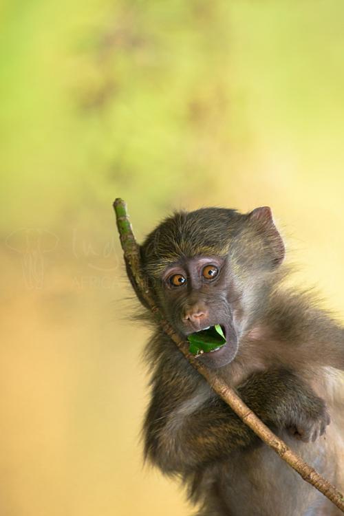 Young baboon mimicking big eyes and playing and eating close-up in Lake Manyara in Tanzania