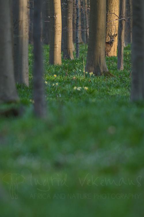 Roe buck in Hallerbos forest