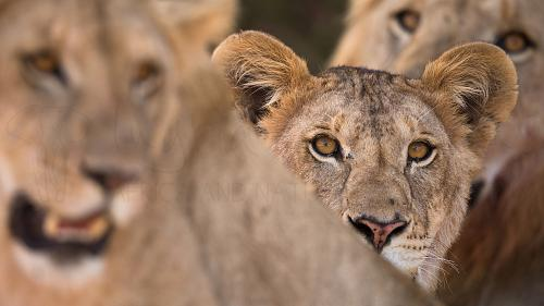 Lion cub close-up between mother and father in Solio Game Reserve