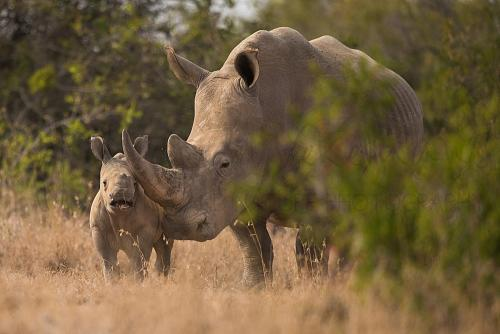 Baby witte neushoorn met moeder in Solio Game Reserve tijdens fotosafari 'Ongerept Afrika'