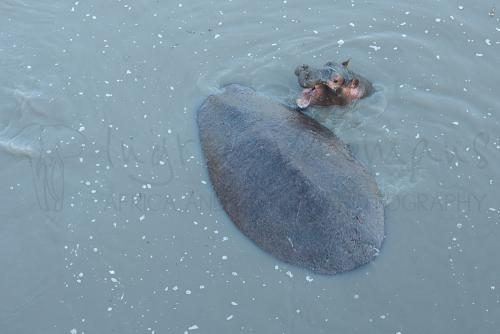 Baby hippo with mother in Katavi River in Tanzania