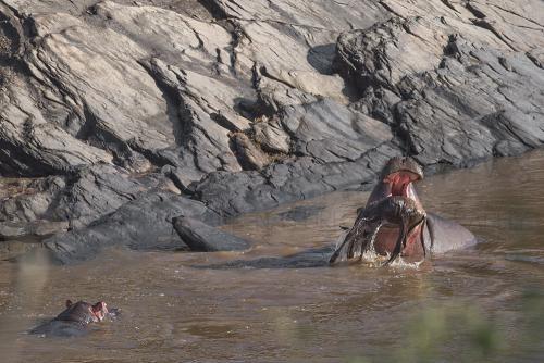 Hippo kills wildebeest calf in Mara River during photo safari Migration and Rift Valley Lakes