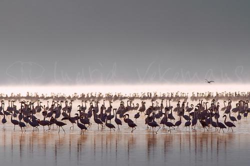 Flamingo's in Lake Nakuru bij zonsopgang