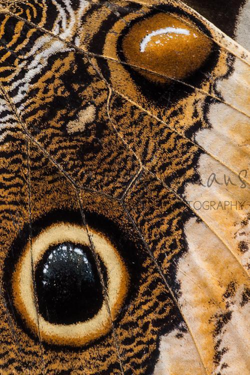 Detail van vleugel van Caligo memnon