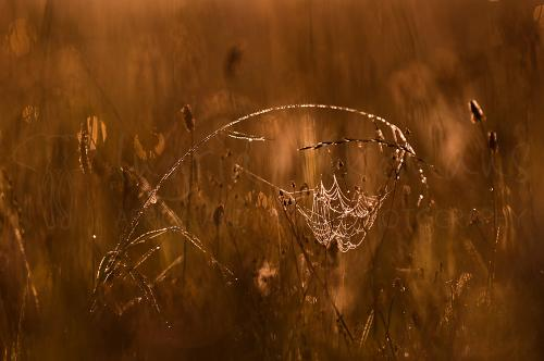Back-lit spider web with drops and reflections in wheat field