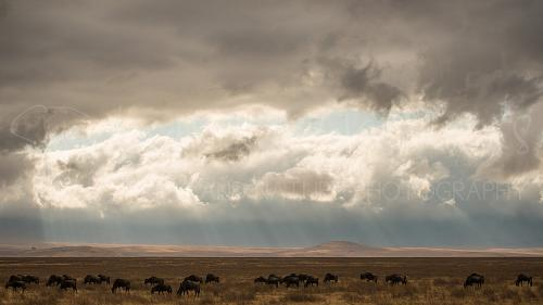 Wildebeest early morning in Ngorongoro Crater during Tanzania Wilderness Safari photo safari