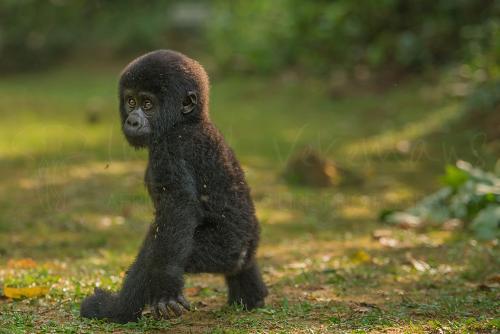 Baby gorilla staat rechtop en kijkt over schouder in open gras
