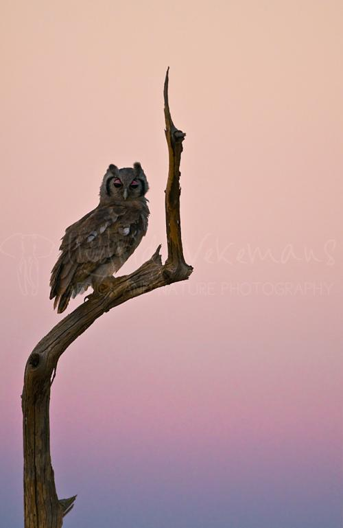 Verreaux's Eagle Owl (Bubo lacteus) on dead tree against sunset sky. Tsavo, Kenya, Africa.