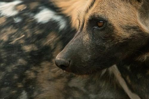 African wild dog close-up against background of painted skin in South Luangwa in South Luangwa in Zambia