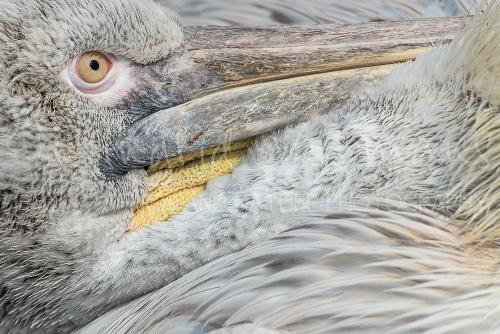Pelican close-up in Blijdorp Zoo - workshop 'Wildlife and Butterflies'