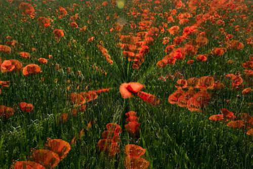 Poppies in motion