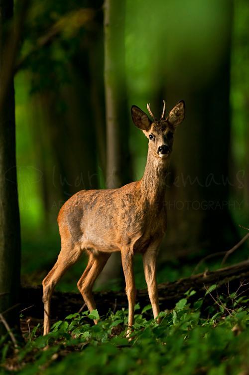 Roe deer buck in evening light in woods