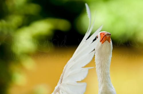 White Embden Goose shaking feathers in close-up