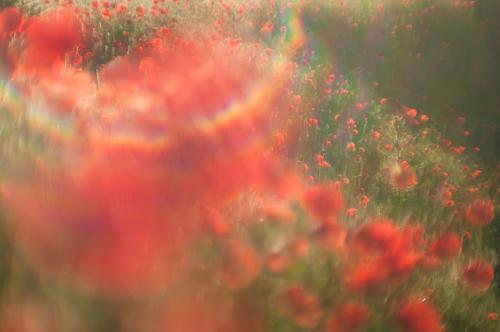 Zonsopgang met flare in klaprozenveld