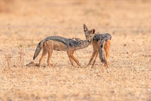 Jakhalzen verzorgen elkaar in Tarangire tijdens Tanzania Wildernis Safari fotosafari