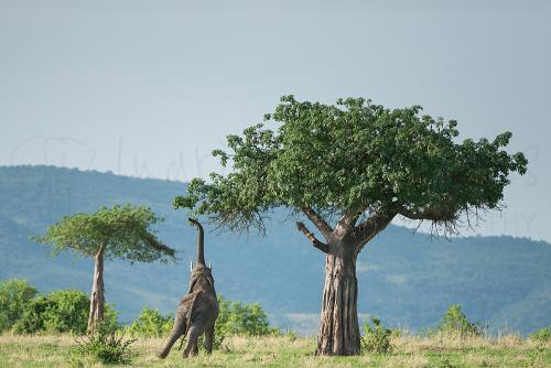 Olifant die met slurf fruit neemt uit groene baobabboom met landschap als achtergrond