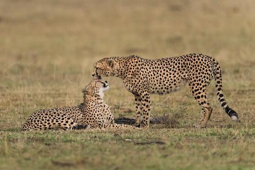 Cheetah brothers reunited after a night apart in the Masai Mara - photo safari 'Migration and Rift Valley Lakes'