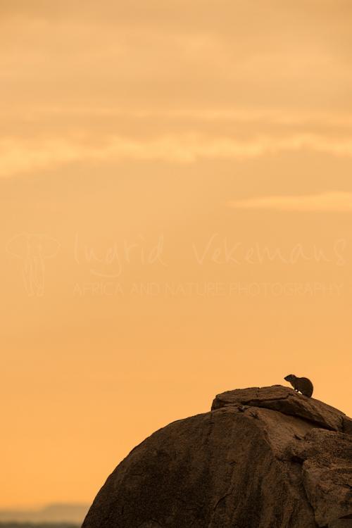 Rotsklipdas bovenop kale rots met oranje lucht van zonsopgang op de achtergrond