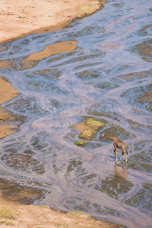 Giraf steekt Tarangirerivier over in Tarangire tijdens 'Tanzania Wildernis Safari' fotosafari
