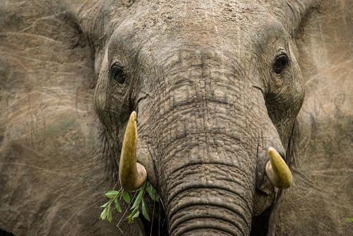 Beeldvullende frontale close-up van olifant met takje in mond