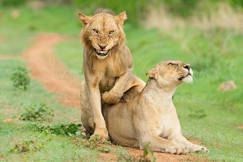 Parende leeuwen met grijnzende mannelijke leeuw in groen landschap