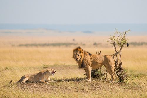 Lion honeymoon couple on the Mara Plains during Migration and Rift Valley Lakes photo safari