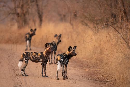 Vier wilde honden speuren vanop de weg in het struikgewas in dor landschap