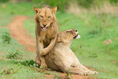 Leeuwenpaar in Ruaha tijdens Zuid-Tanzania Explorer fotosafari