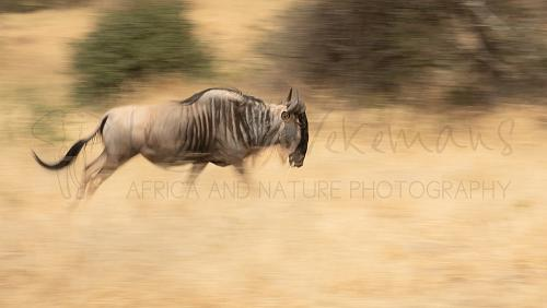Panning shot of wildebeest in Tarangire National Park during Tanzania Wilderness Safari
