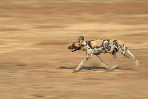 Rennende Afrikaanse wilde hond met bewegingseffect in South Luangwa in Zambia