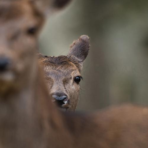 Red deer calf hiding behind mother in close-up