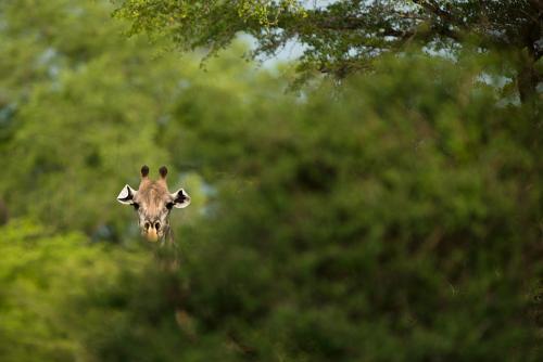 Kop van giraf met naar voren geklapte oren tussen het groen