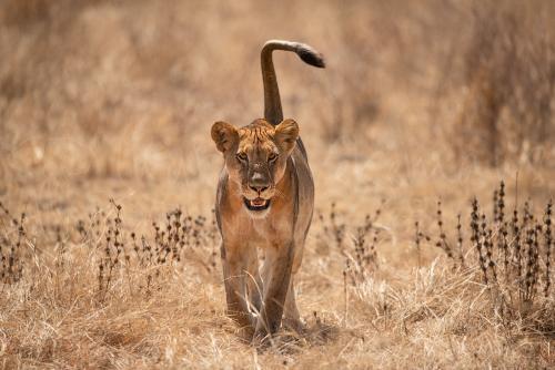 Jonge leeuwin wandelt frontaal in dor gras met staart in de lucht